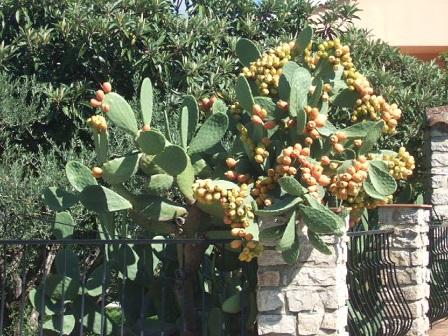 Opuntia ficus-indica  Dscf3227