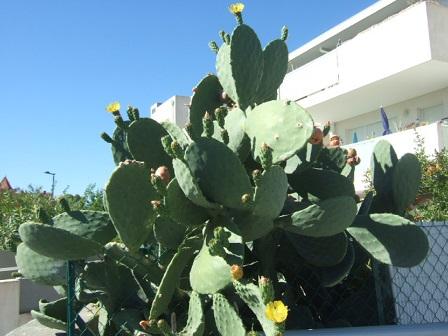 Opuntia ficus-indica  Dscf3231