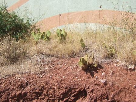 Opuntia microdasys Dscf3321