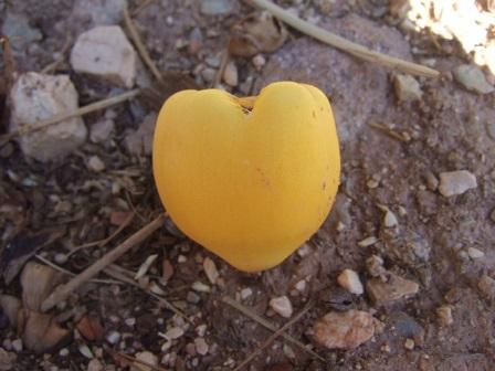 Jubaea chilensis - cocotier du Chili Dscf3330