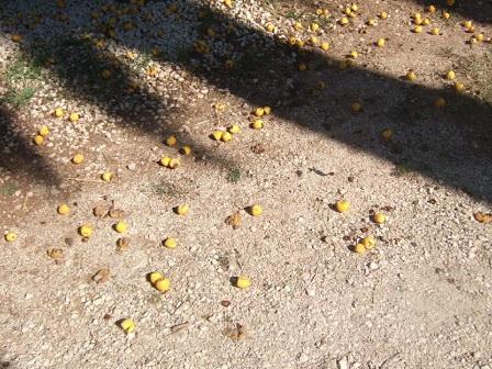 Jubaea chilensis - cocotier du Chili Dscf3331