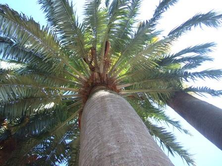 Jubaea chilensis - cocotier du Chili Dscf3333