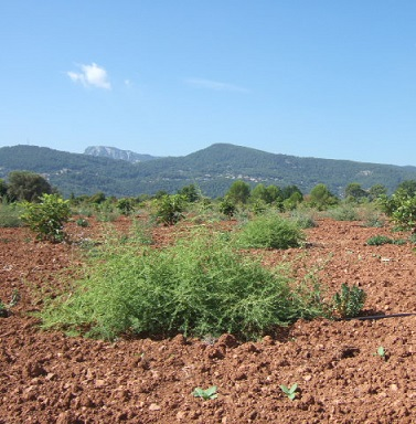 Amaranthus albus - amarante blanche Dscf3337