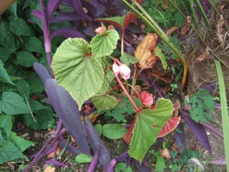 Begonia grandis subsp. evansiana Dscf3515
