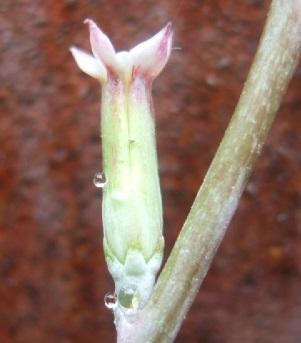 Adromischus cristatus Dscf3532