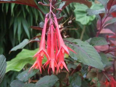 Fuchsia triphylla (= Fuchsia fulgens) Dscf3534