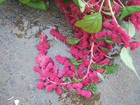 Amaranthus - les amarantes horticoles Dscf3634