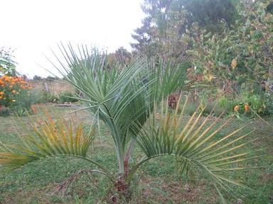 Palmiers rustiques  Dscf3641