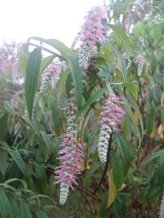Rostrinucula dependens - menthe en arbre Dscf3728