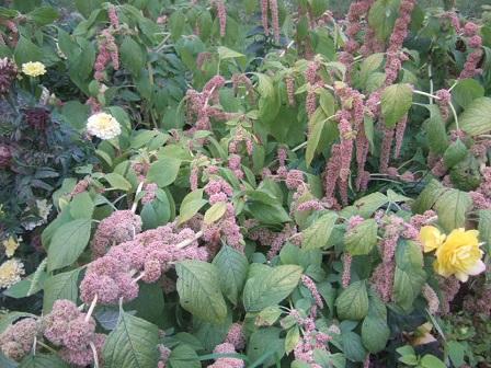 Amaranthus - les amarantes horticoles Dscf3816