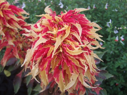 Amaranthus - les amarantes horticoles Dscf3820