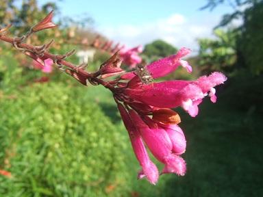 Salvia - les floraisons du moment - Page 12 Dscf3930
