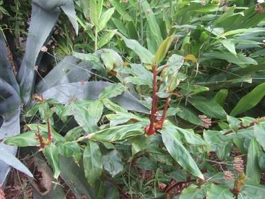 Hedychium greenii Dscf4011