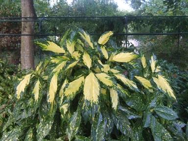 Aucuba japonica - aucuba du Japon Dscf4013