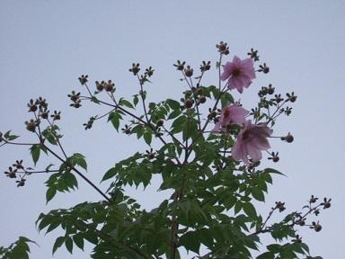 Dahlia imperialis - Page 3 Dscf4112