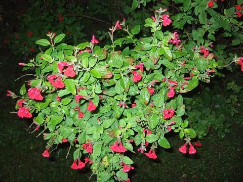 Salvia microphylla var. neurepia Dscf4510