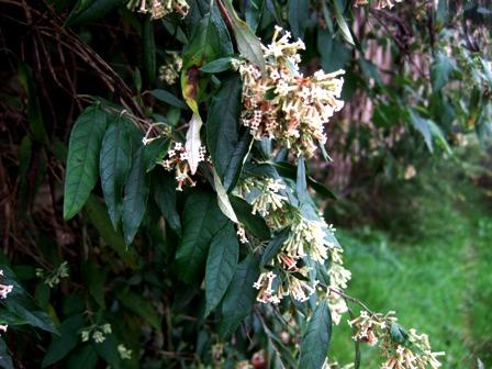 buddleia - Buddleja auriculata Dscf4612