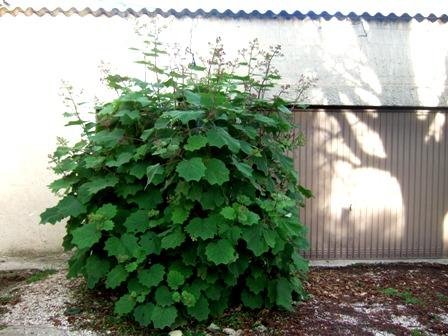 Roldana petasitis (= Senecio petasitis) Dscf4615