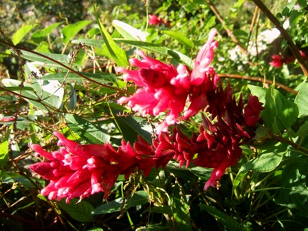 Salvia - les floraisons du moment - Page 13 Dscf4619