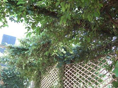 Ficus pumila - Page 3 Dscf5011