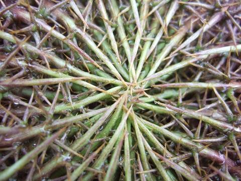 Carlina acanthifolia - cardabelle Dscf6312