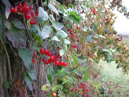 Solanum dulcamara - morelle douce-amère Dscf6611
