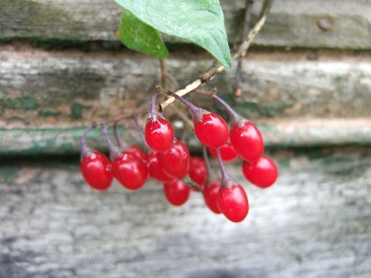 Solanum dulcamara - morelle douce-amère Dscf7010