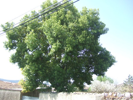 Cinnamomum camphora - camphrier Dscf9810