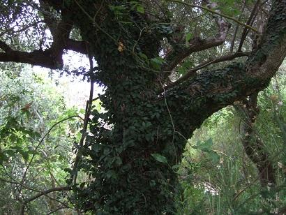 Ficus pumila - Page 3 Dscf9910