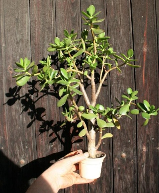 petits pots de terre pour mini succulentes 514_1412
