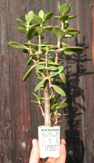 petits pots de terre pour mini succulentes 514_1413