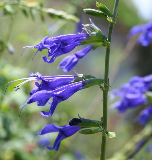 Salvia ianthina Img_9128