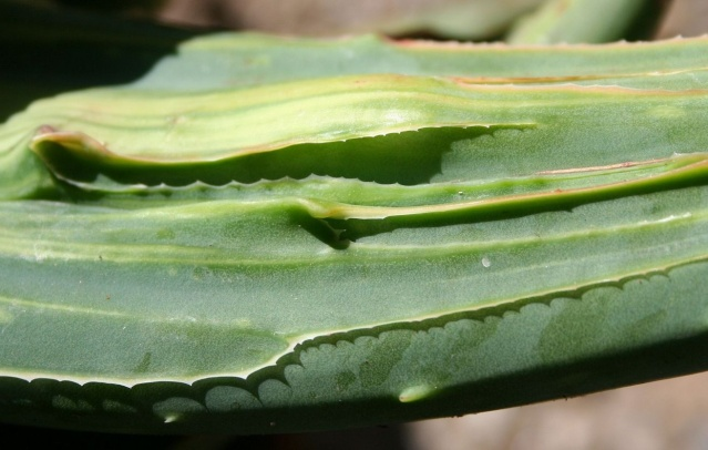 Aloe striata f. monstruosa variegata Img_9719