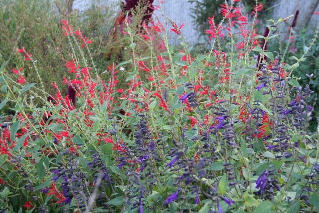 Salvia - les floraisons du moment - Page 12 Img_9720