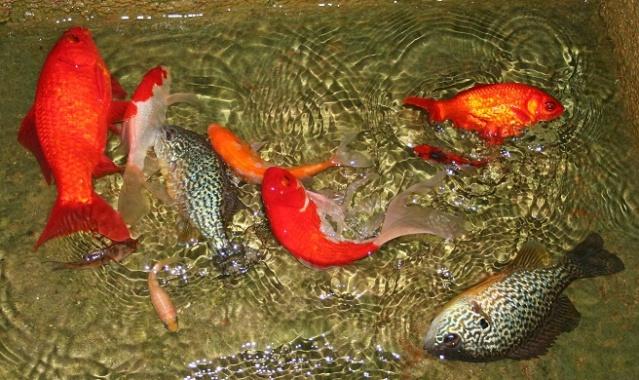 poissons de bassins Img_9722