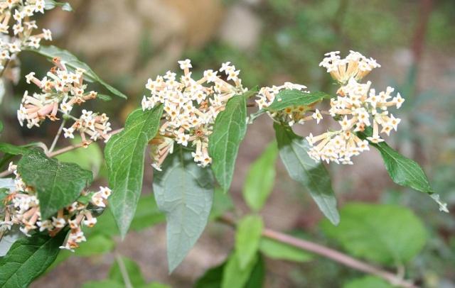buddleia - Buddleja auriculata Img_9819