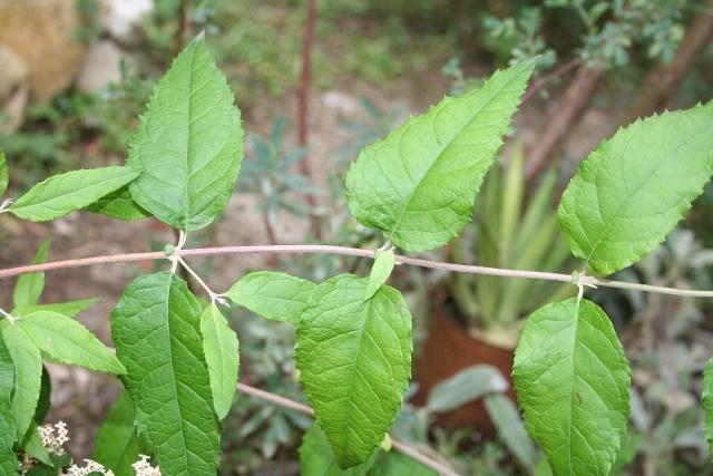 buddleia - Buddleja auriculata Img_9820