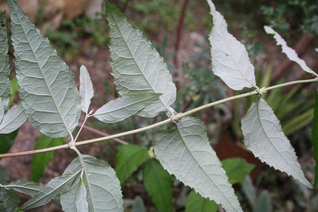 buddleia - Buddleja auriculata Img_9821