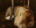 portrait de taureau 111