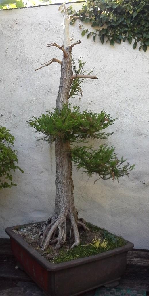 Taxodium distichum 1994 - Page 2 Taxodi11