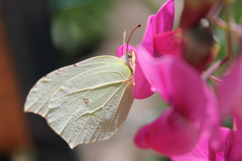 Photo fleur en macro Papill10
