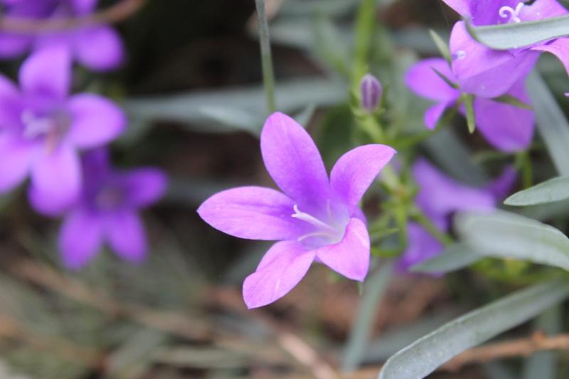 Photo fleur en macro Papill11