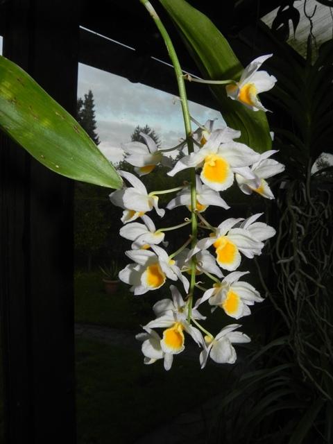 Dendrobium farmeri Dendro11
