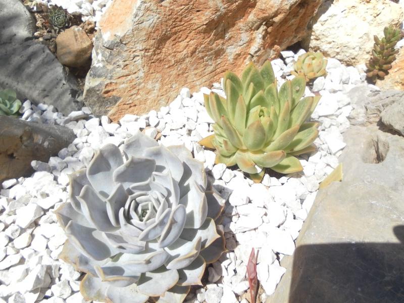 Echeveria lilacina et agavoides Sam_2310