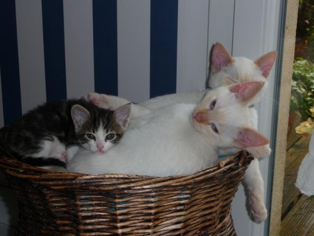 Hélico, chaton mâle blanc et roux né en juillet 2012 07_10_10