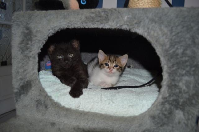 """JESPER, chaton mâle noir """"smoke"""", né le 25/04/14 Dsc_0020"""