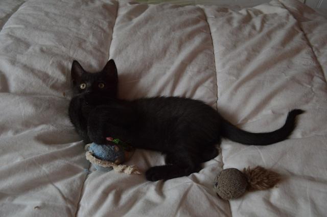 """JESPER, chaton mâle noir """"smoke"""", né le 25/04/14 Dsc_0026"""