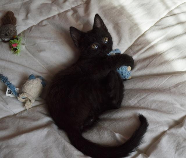 """JESPER, chaton mâle noir """"smoke"""", né le 25/04/14 Dsc_0027"""