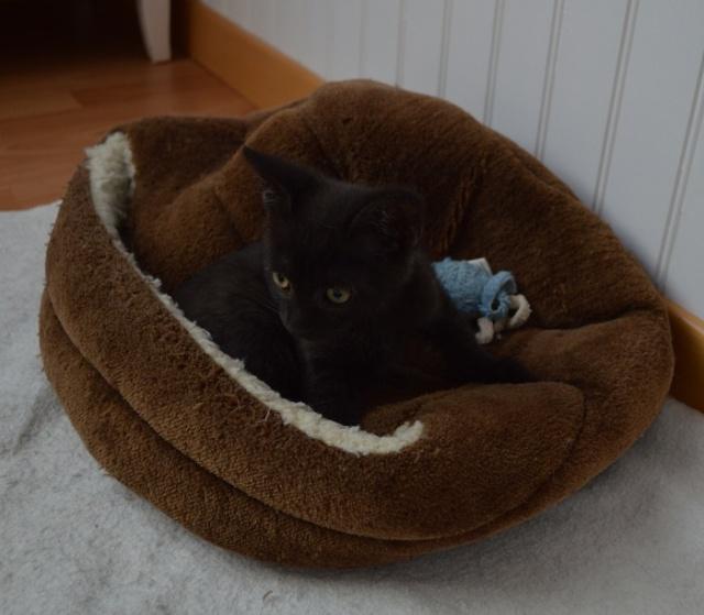 """JESPER, chaton mâle noir """"smoke"""", né le 25/04/14 Dsc_0028"""