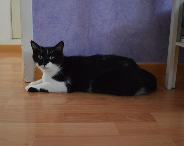 GENTILLE, chatte noire et blanche, née en 2011 Dsc_0036